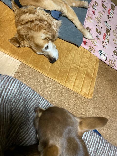寝るウォーと私の膝の上のまつり